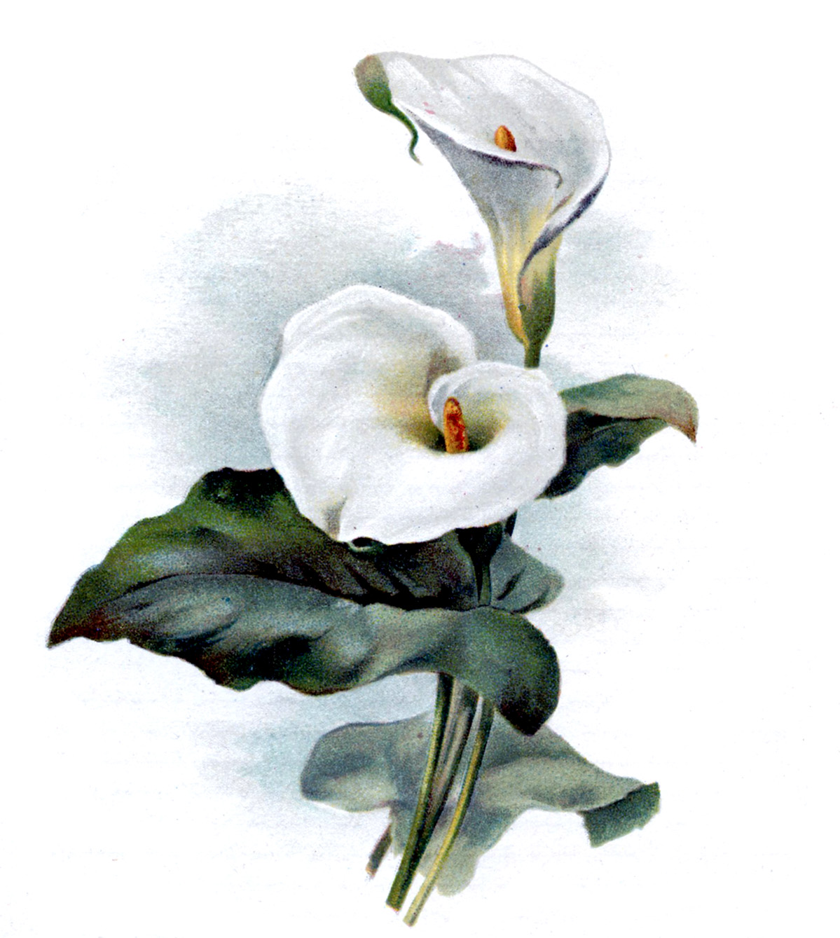 Easter Lily Clipart Cala lily image: galleryhip.com/easter-lily-clipart.html