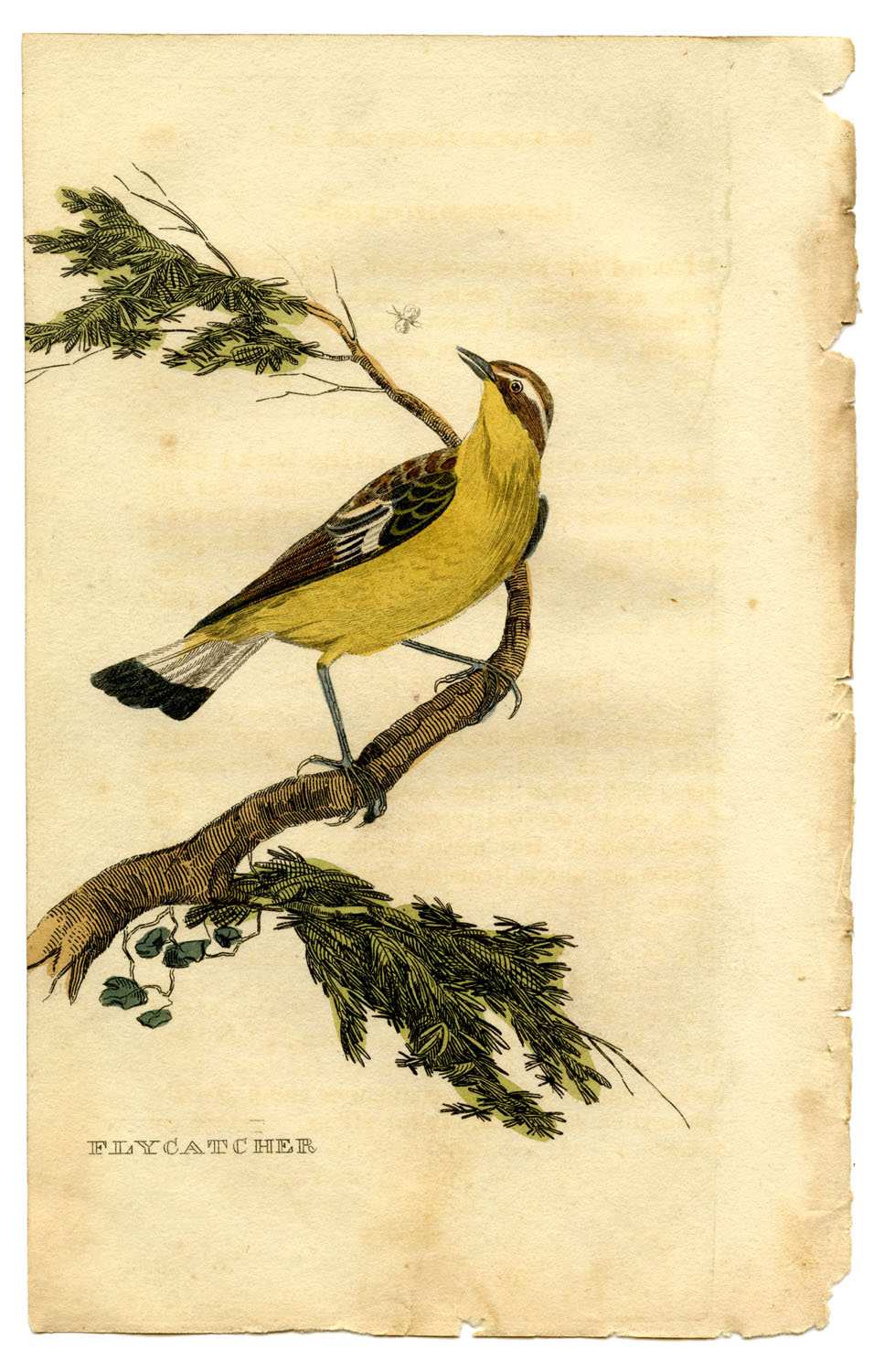 Instant Art Printable - Natural History - Yellow Bird - The Graphics ...