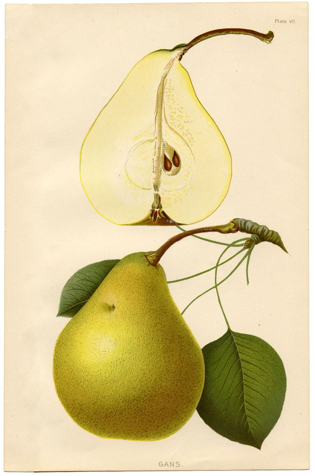 Instant Art Printable - Botanical Pears - The Graphics Fairy