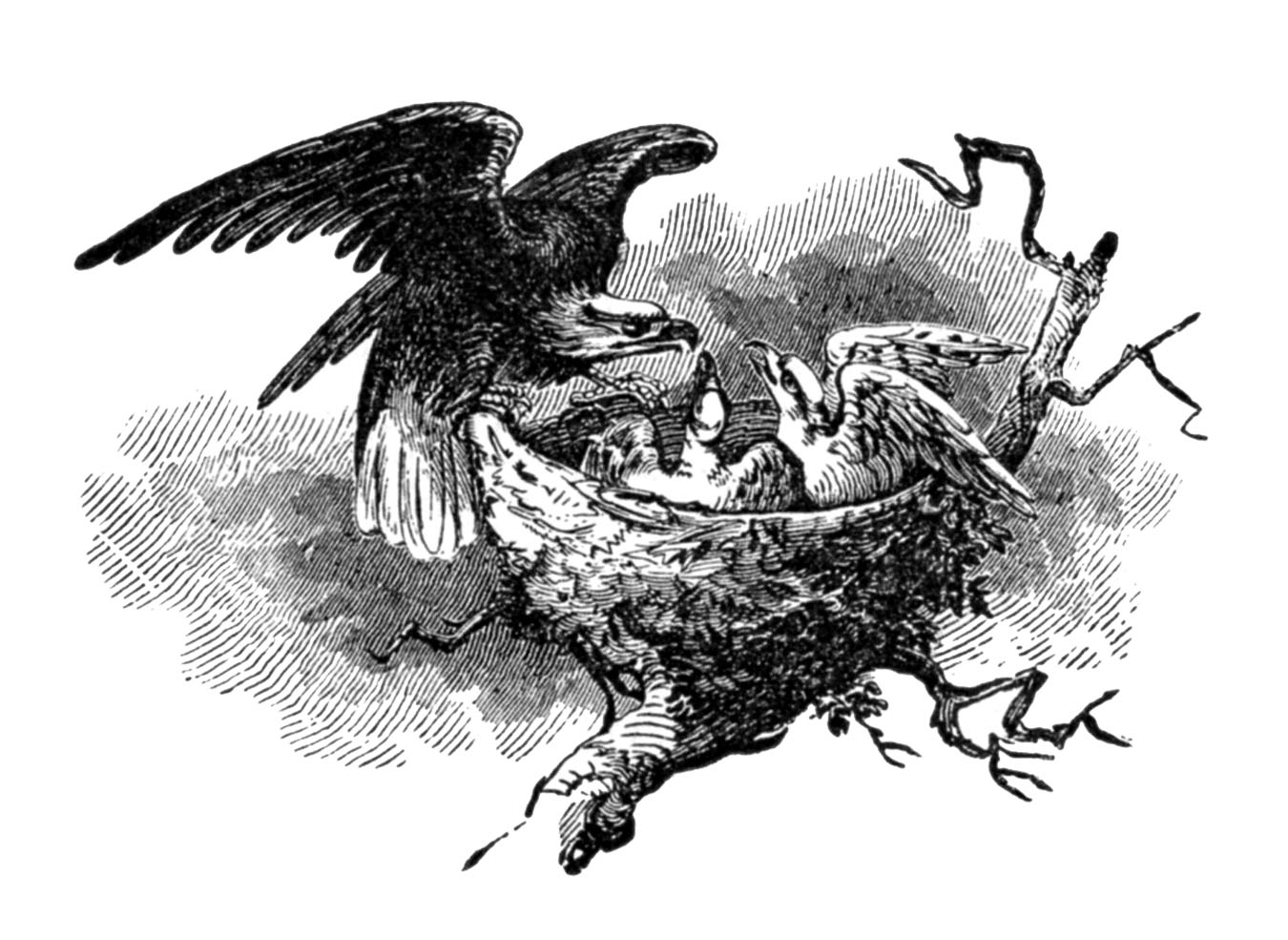 Vintage Clip Art - Eagle with Nest and Babies - The ... (1350 x 985 Pixel)