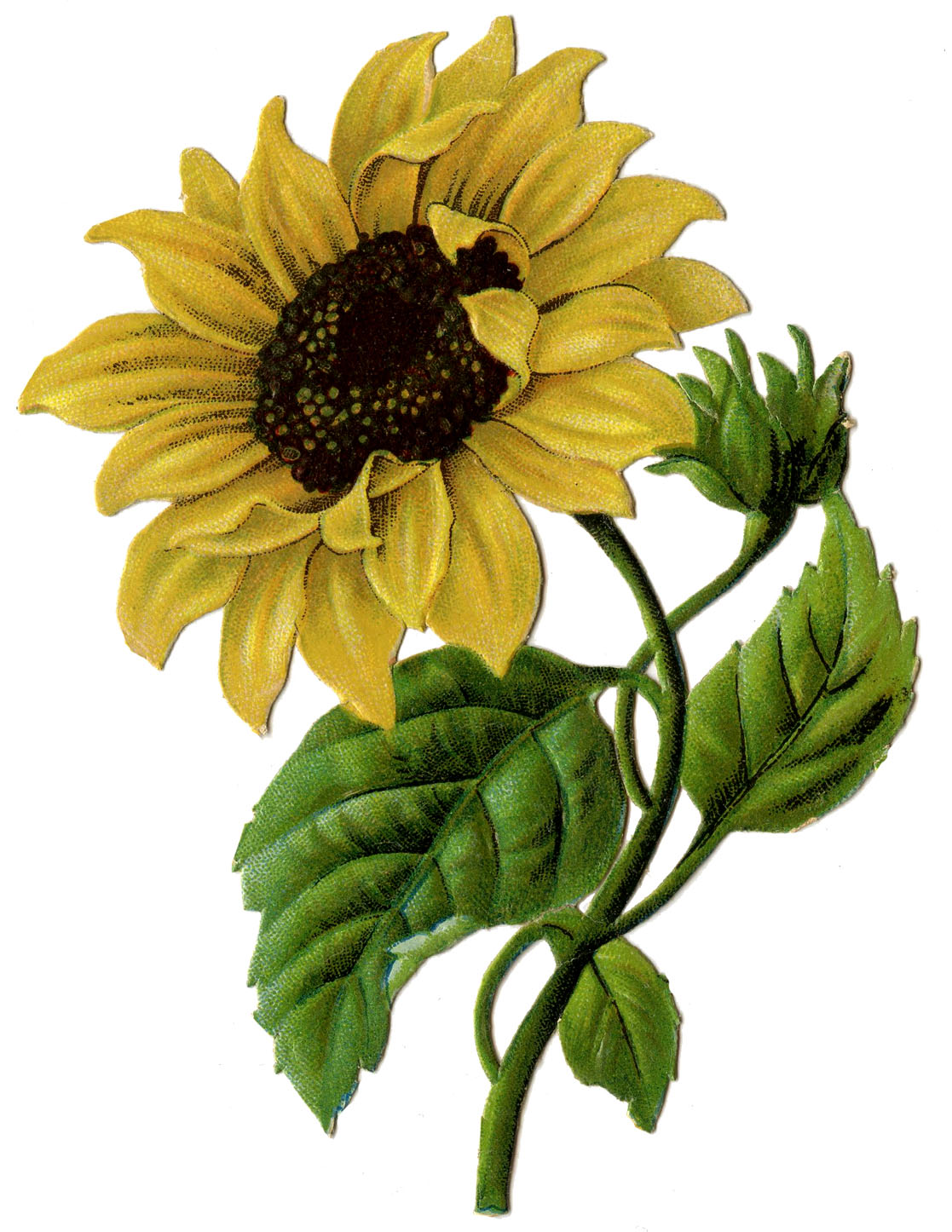 Top Vintage Sunflower Clip Art Free 1117 x 1446 · 293 kB · jpeg