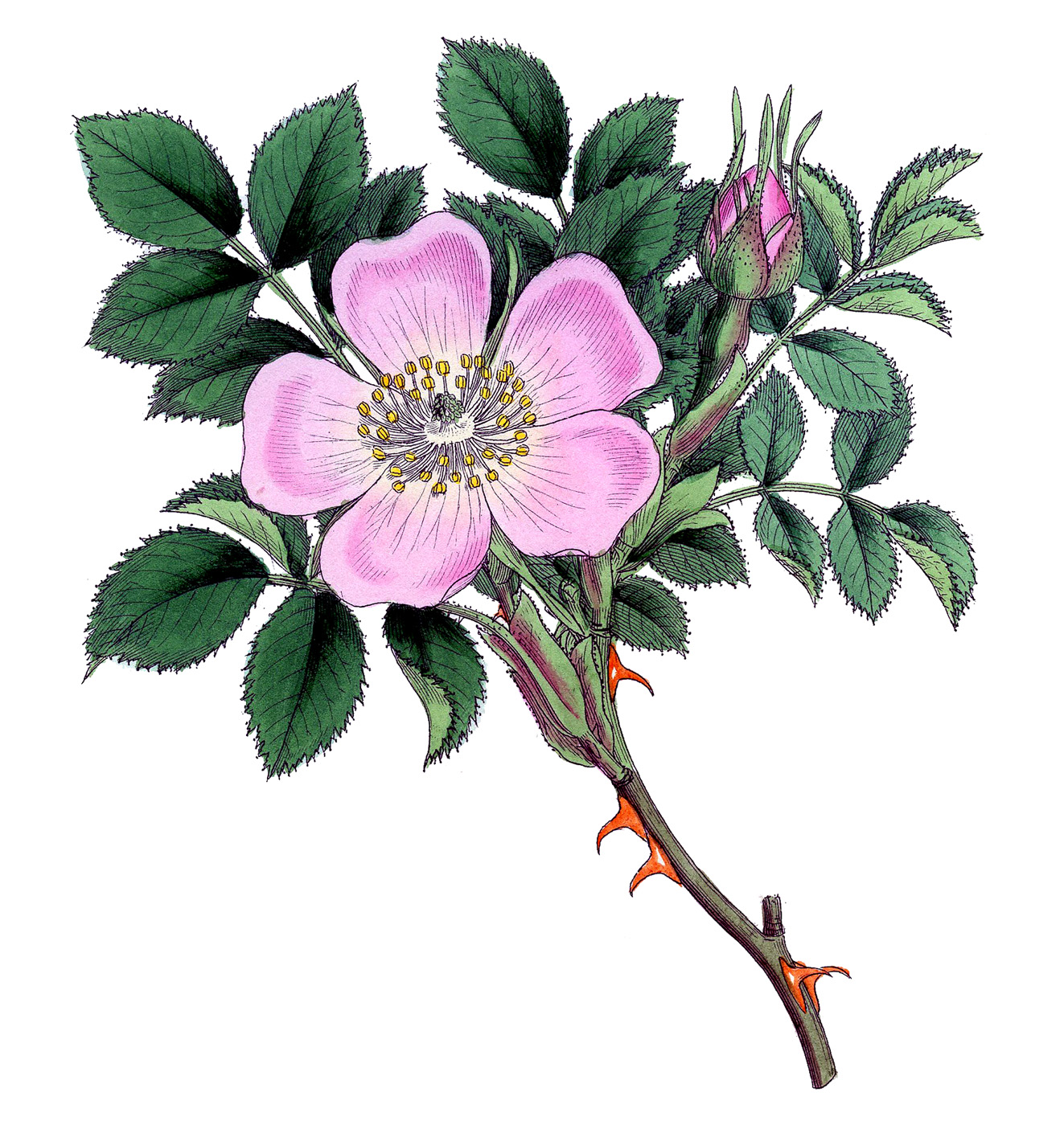Vintage Image Super Pretty Wild Rose The Graphics Fairy