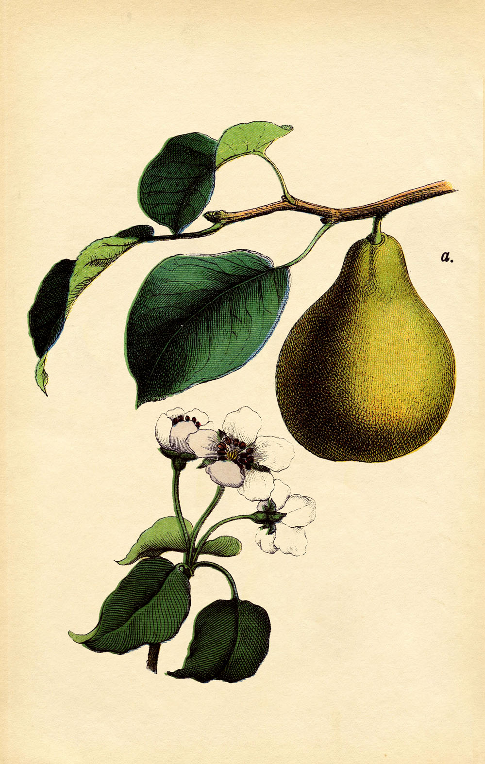 Instant Art Printable - Botanical Pear - The Graphics Fairy