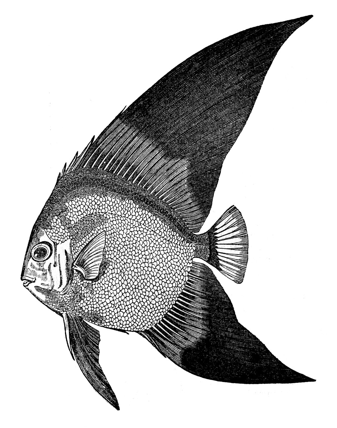 Vintage clip art fish engravings the graphics fairy for Clip art fish