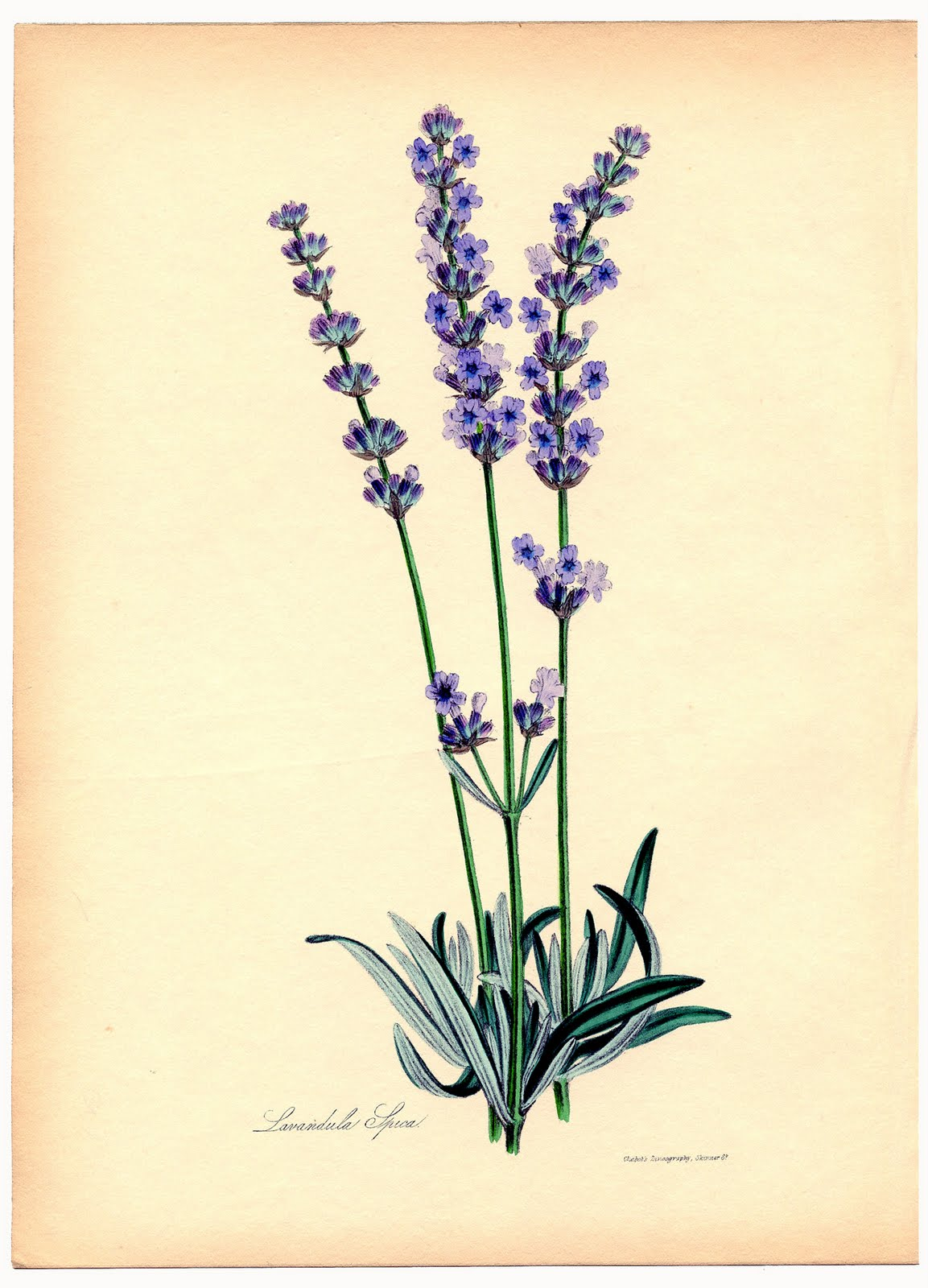 Instant Art Printable - Superb Lavender Botanical - The ...