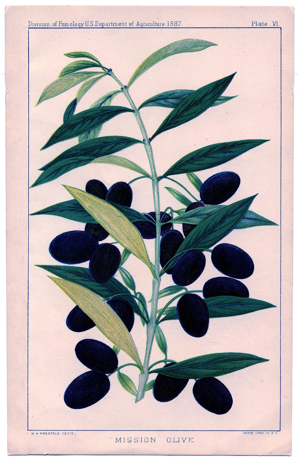 Instant Art Printable Olives Botanical The Graphics