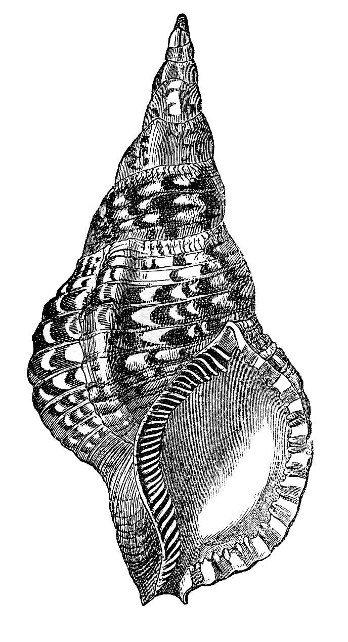 natural history clip art seashells the graphics fairy