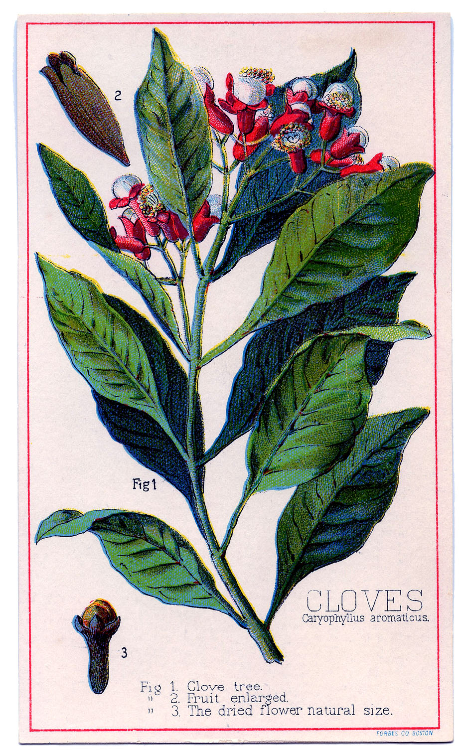 Vintage Graphic - Wonderful Clove Plant