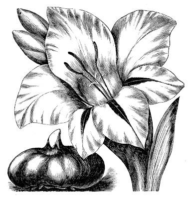 Vintage Clip Art Flower Engravings Gladiolus And