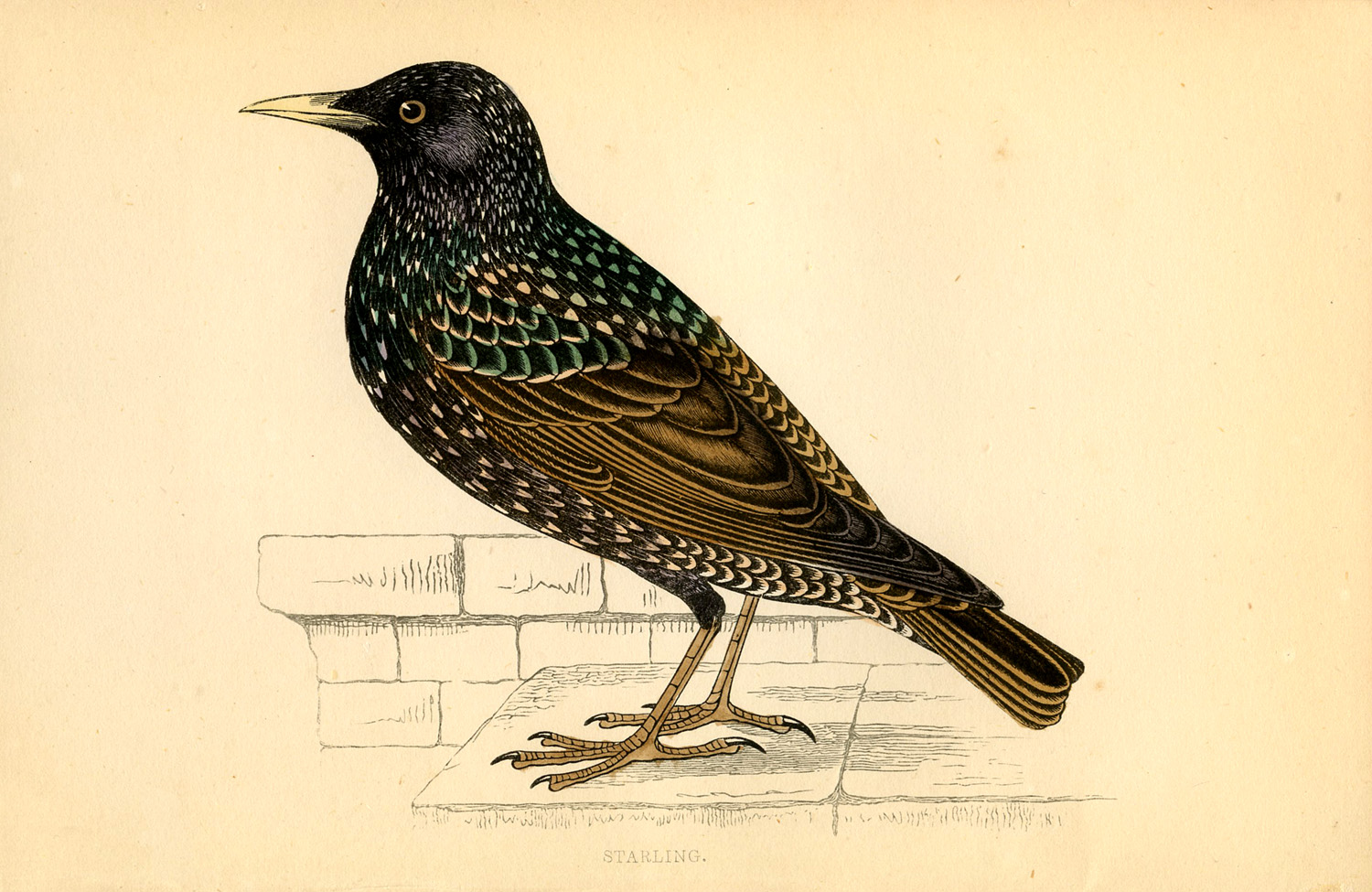 Starling Bird Images Bird – Starling