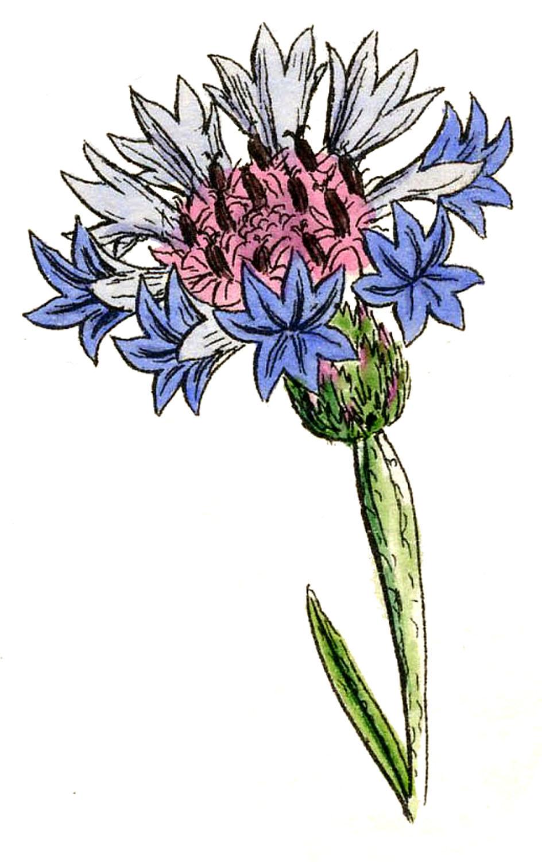 The Graphics Fairy: Antique Botanical Graphics
