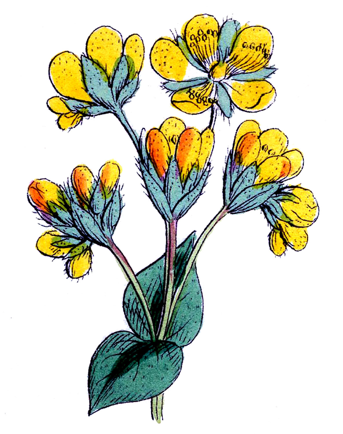 Vintage Botanical Images - Bright Yellow Flowers - The ...