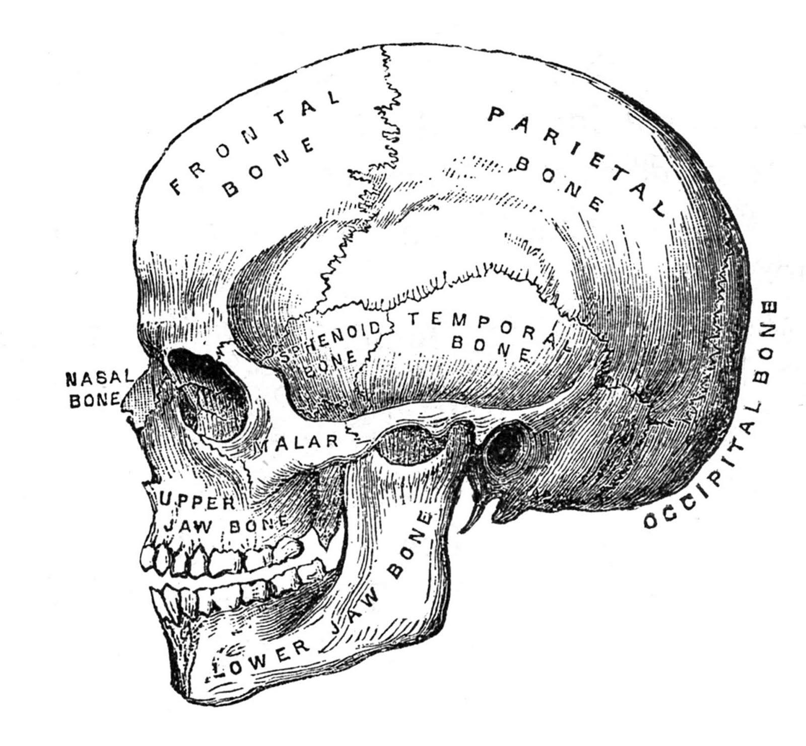 Vintage Halloween Clip Art - Anatomy Skull - Printable - The ...