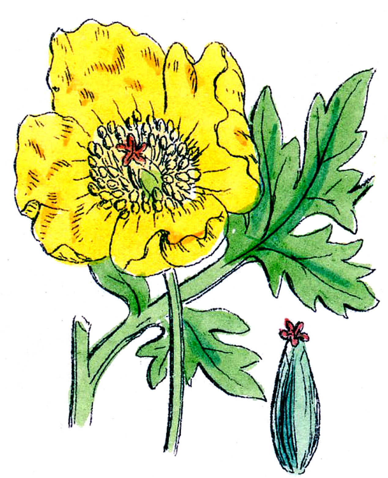 Vintage Botanical Clip Art - Poppies - The Graphics Fairy