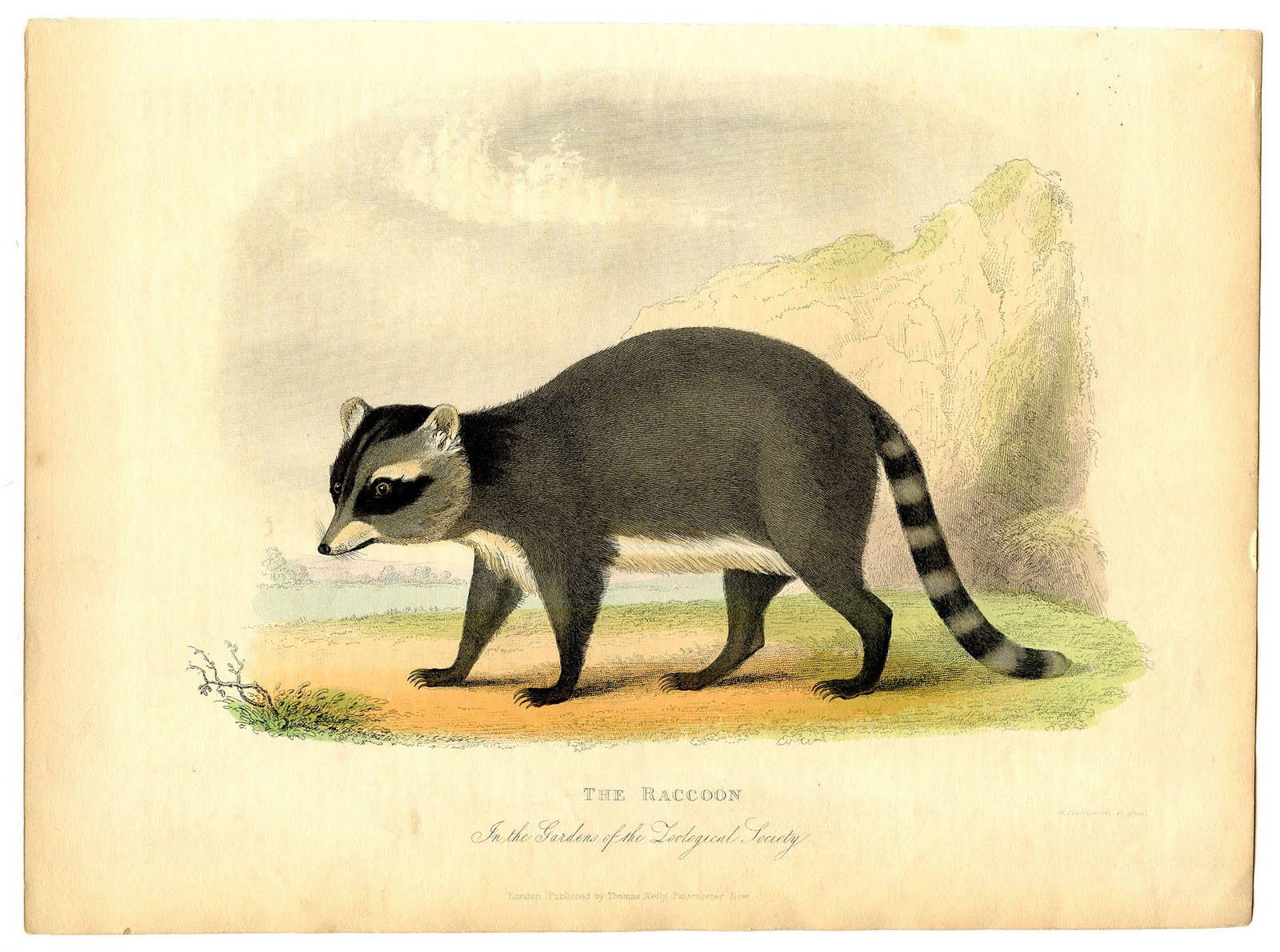 Vintage Printable Image Raccoon Instant Art The