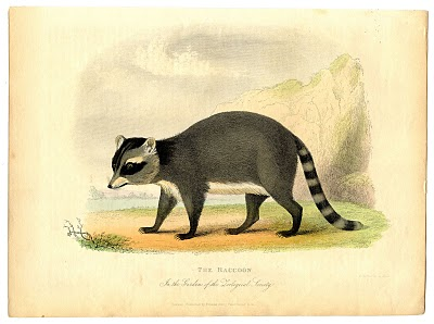 Natural History Raccoon Picture