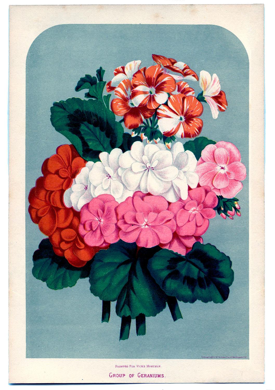 Vintage Instant Art Printable - Geraniums - The Graphics Fairy