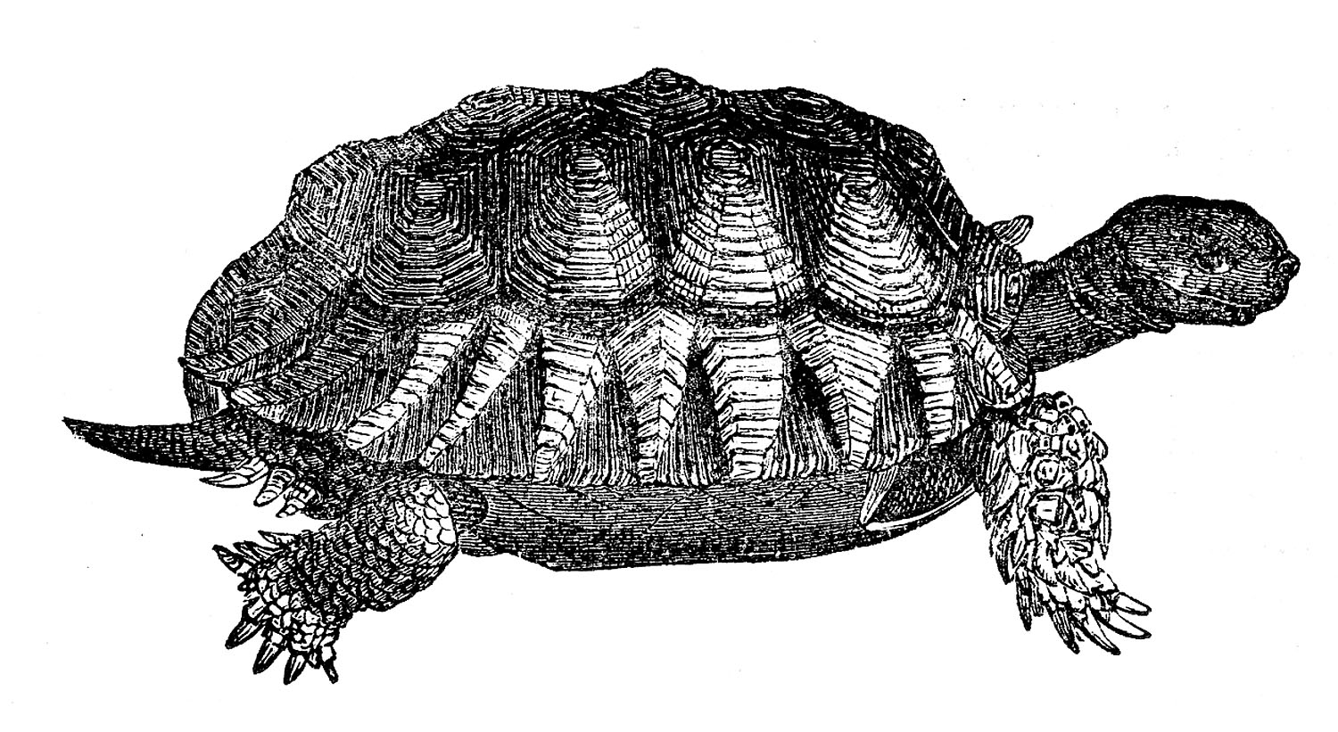 Vintage Clip Art - Turtles and Turtle Skeleton - The Graphics Fairy