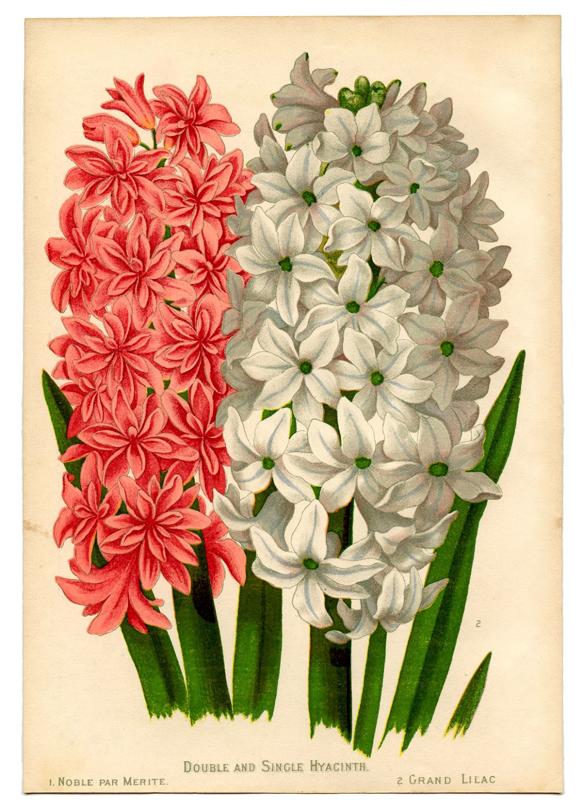 Instant Art Botanical Printable Gorgeous Hyacinths The