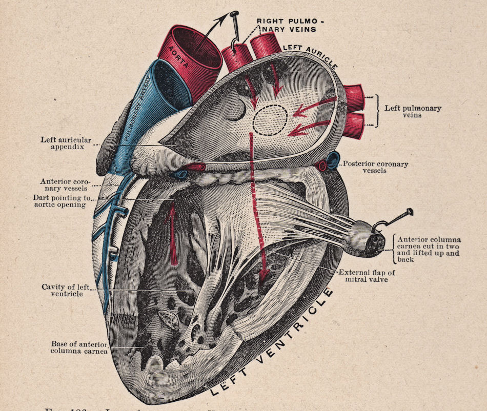 Free Vintage Clip Art Anatomy Heart The Graphics Fairy