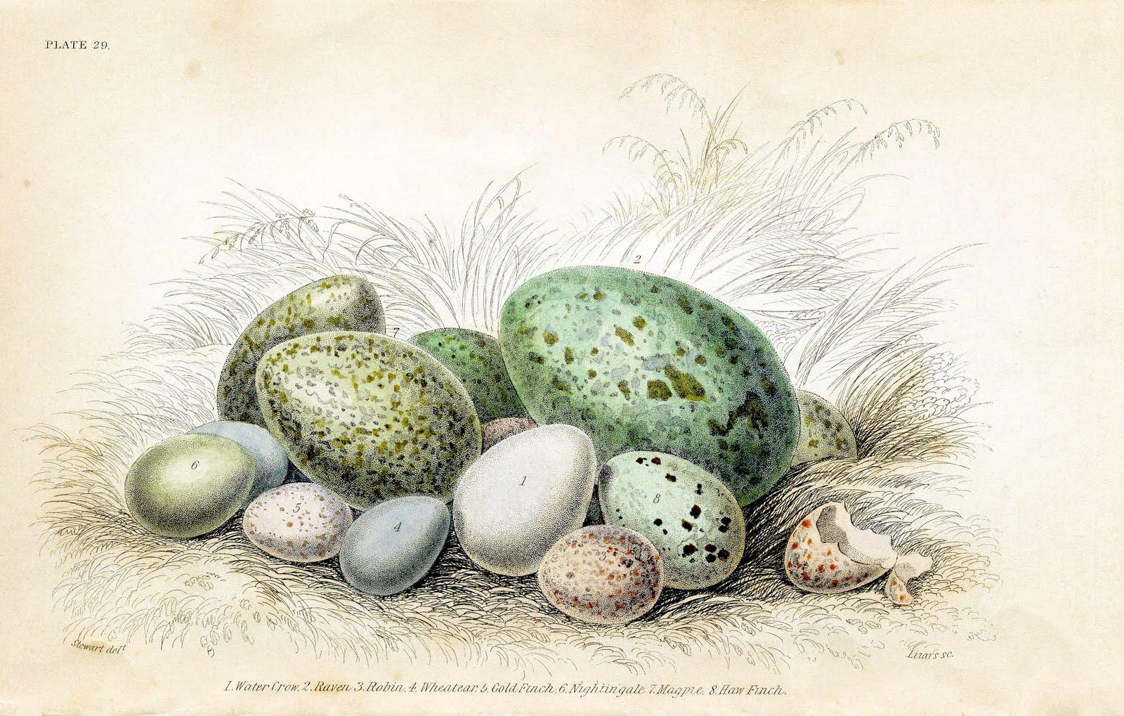 Free Vintage Clip Art - Gorgeous Bird's Eggs - The ...