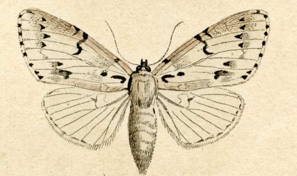 Free Vintage Gypsy Moth Natural History Clipart