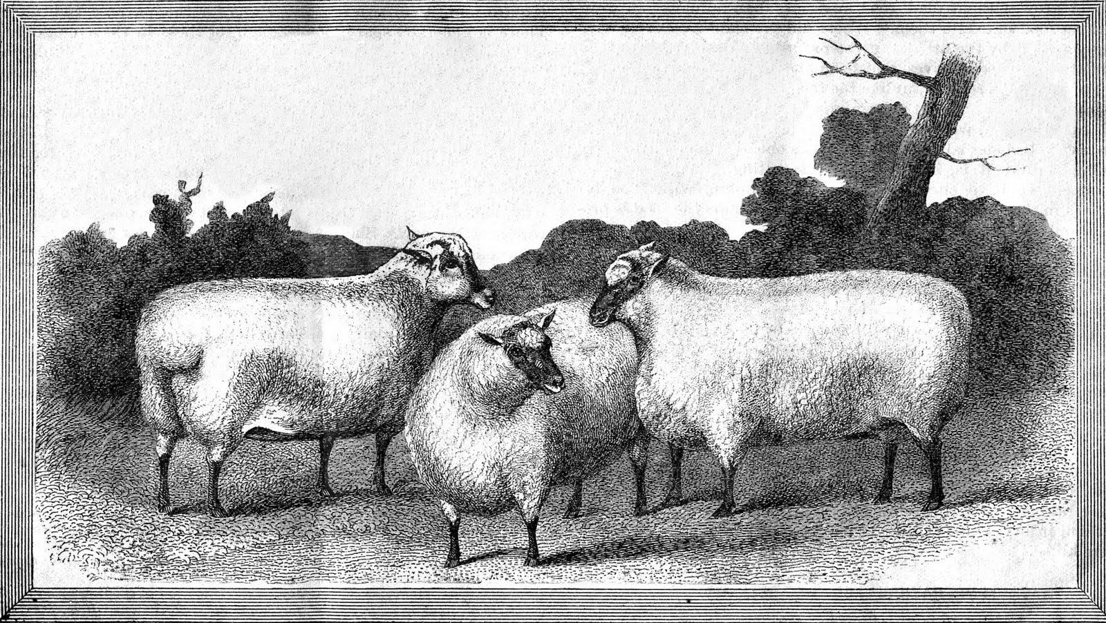 Three sheep - photo#42
