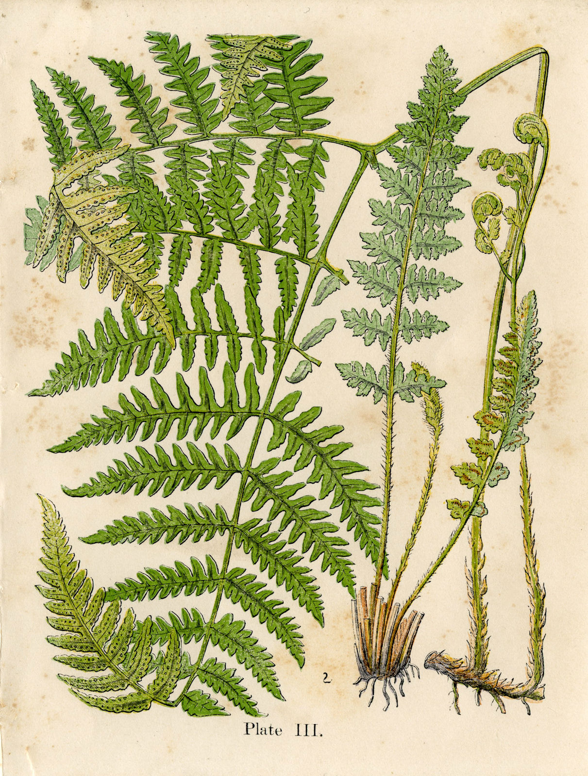 Vintage Graphic - Gorgeous Ferns - Early Botanical - The Graphics Fairy