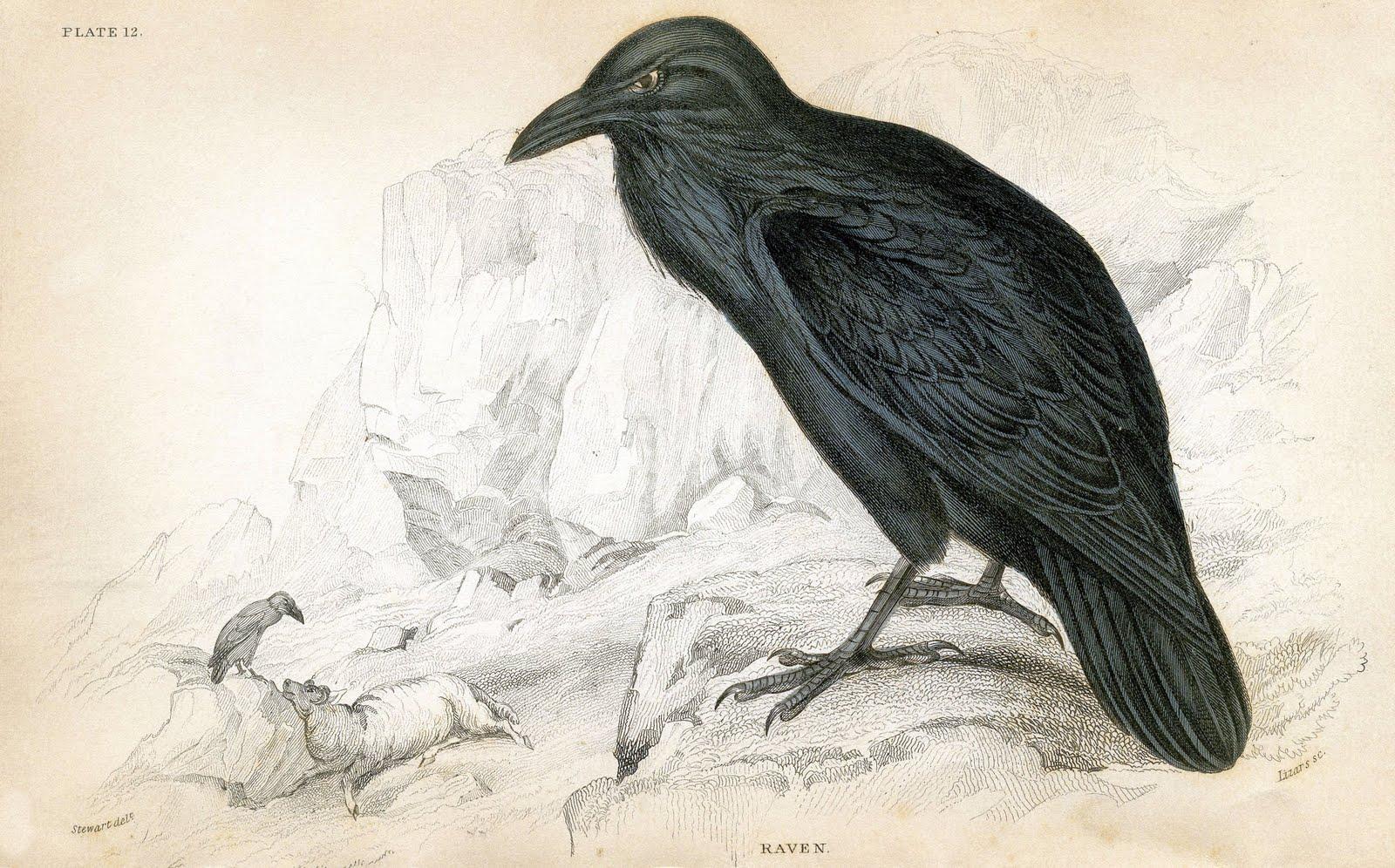 Antique Clip Art 1830 S Raven Natural History The