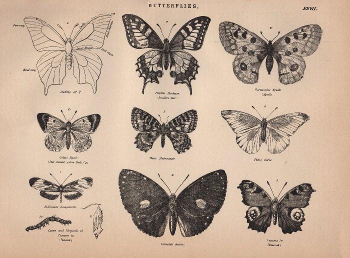 Free Clip Art Vintage Butterflies The Graphics Fairy