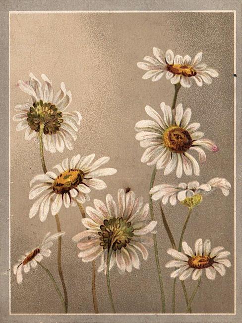 victorian clip art daisies the graphics fairy