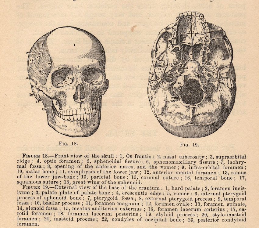 Vintage Graphic - Anatomy - Skull Diagram
