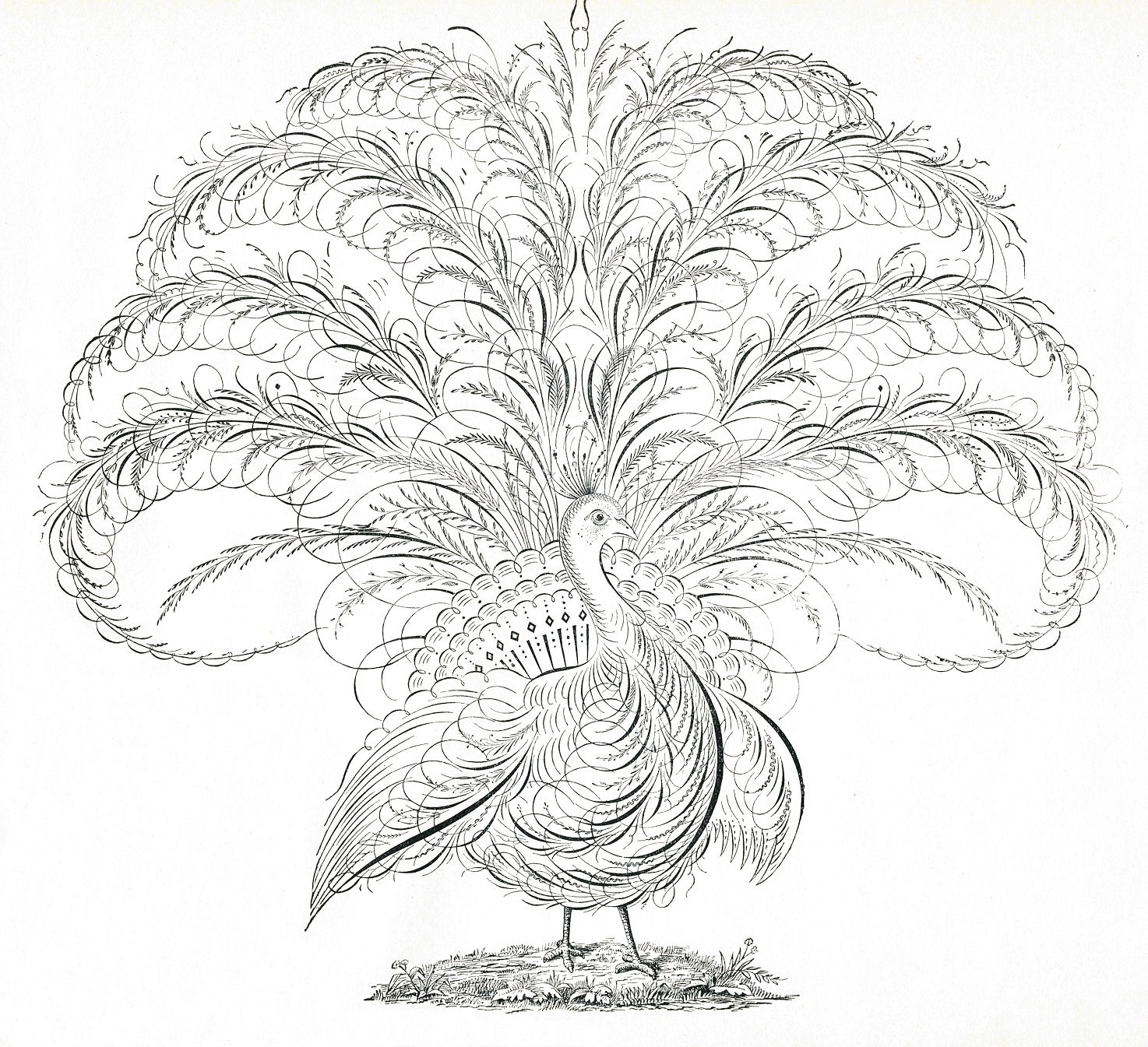 Free Antique Clip Art Calligraphy Peacock Flourishes