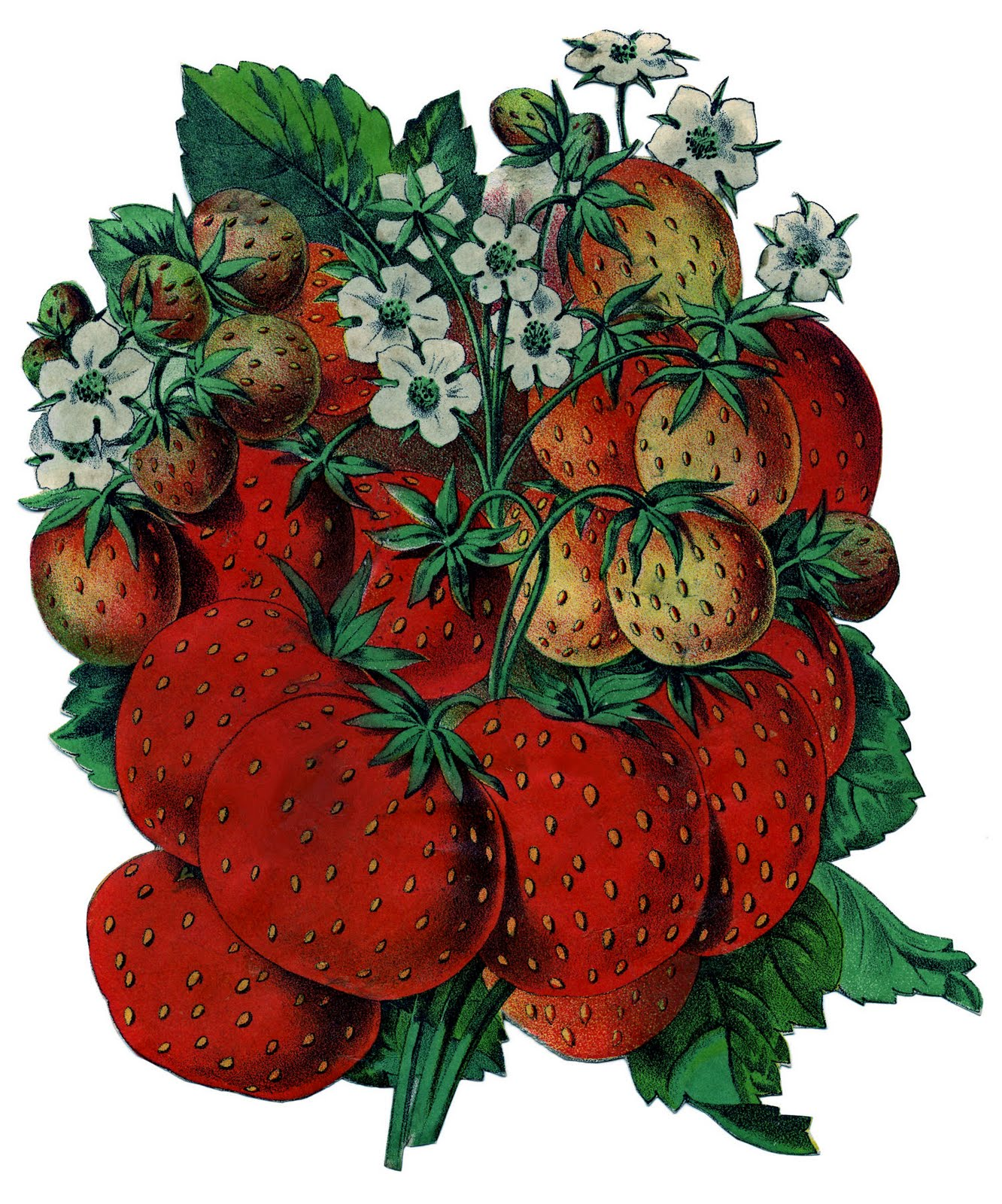 Old Seed Catalog Art Strawberries The Graphics Fairy