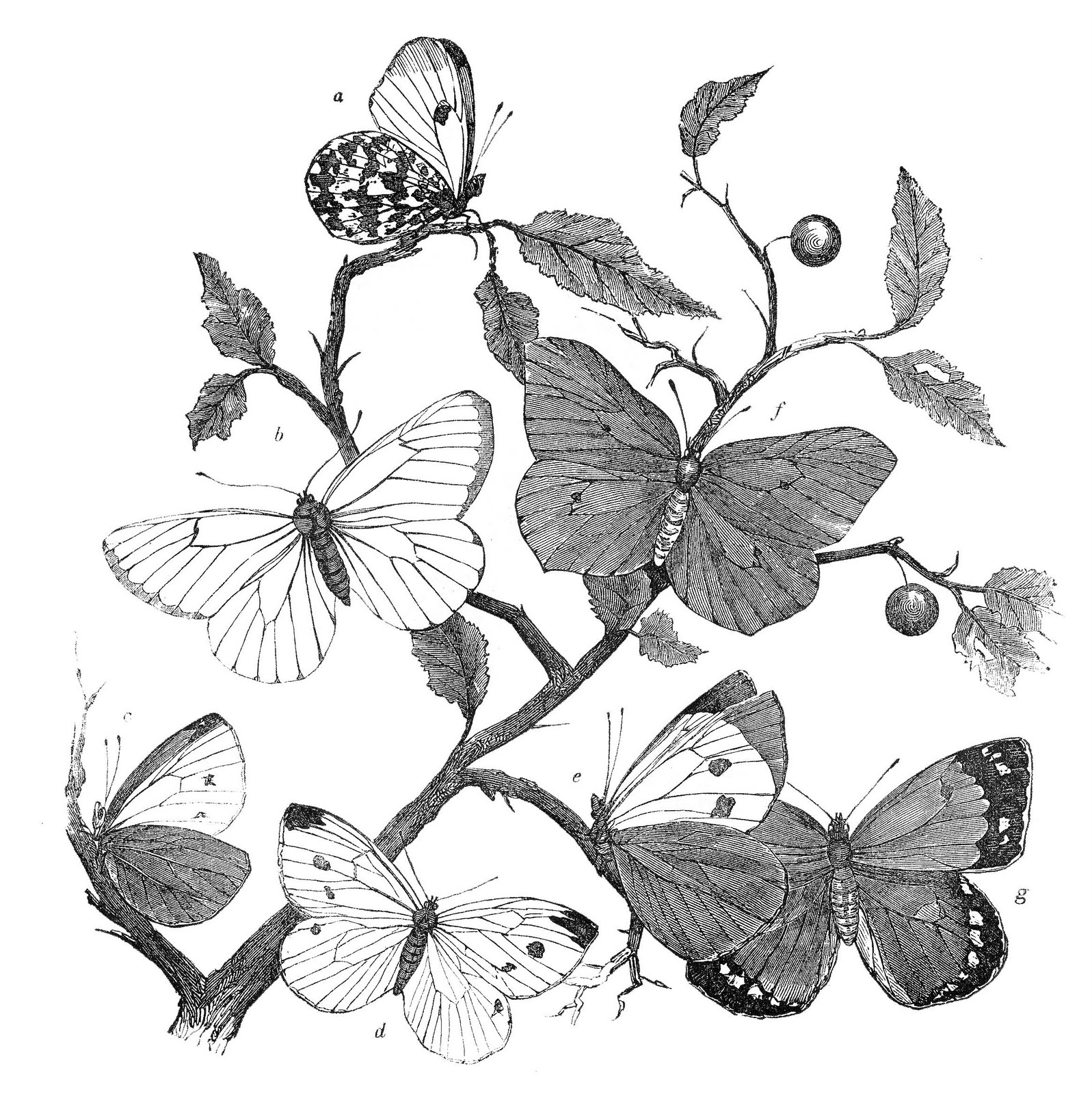 Antique Natural History Clip Art     Butterfly BranchesVintage Butterfly Black And White