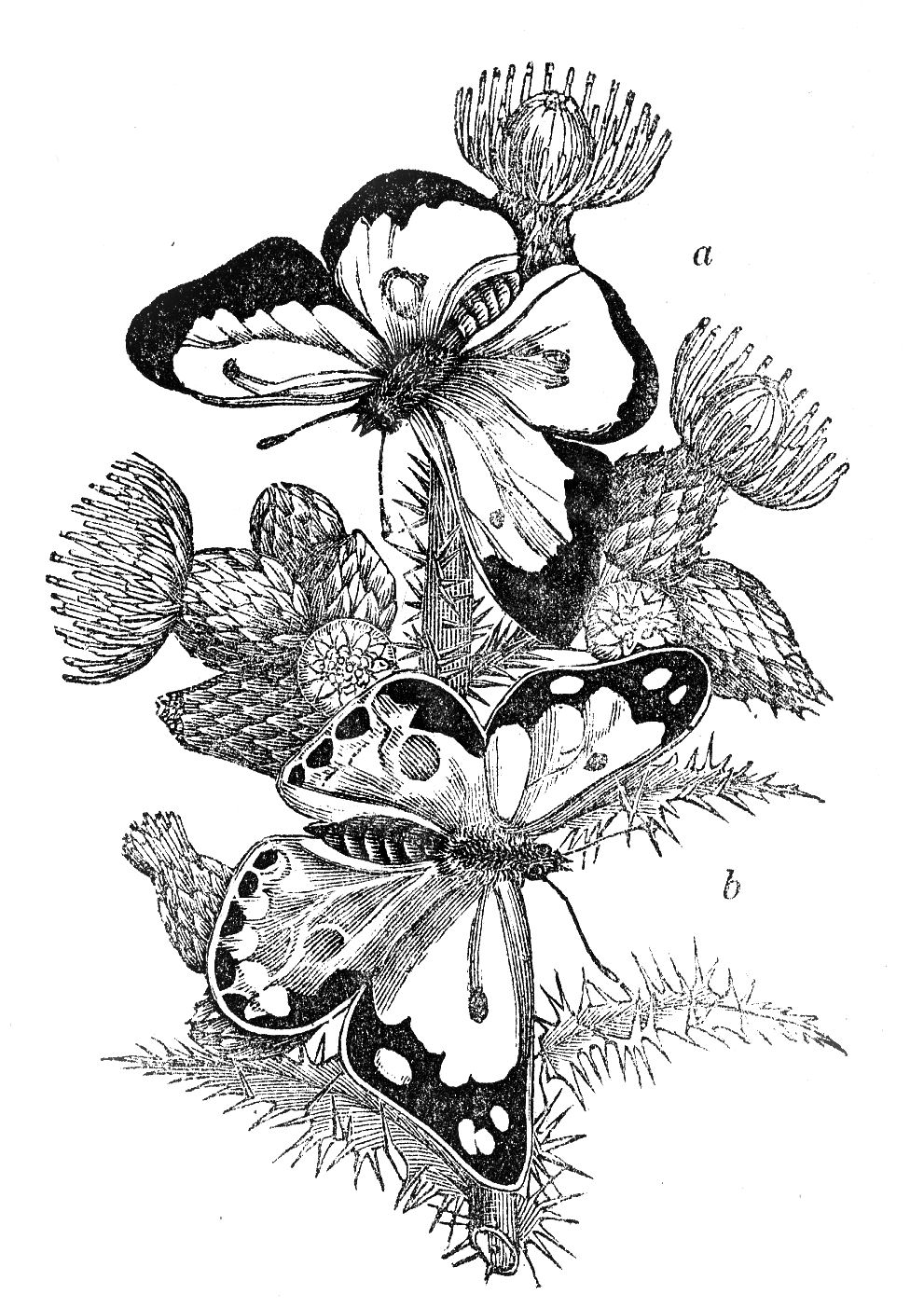 Vintage Image - Black and White Butterflies - The Graphics ...