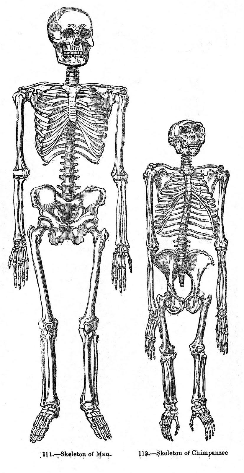 Vintage Halloween Clip Art - Skeletons