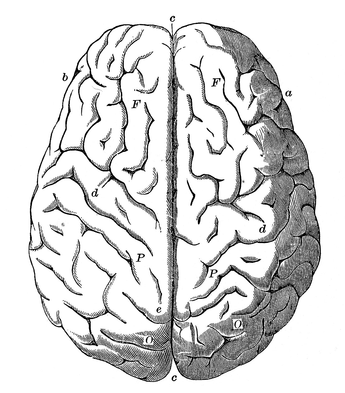 vintage anatomy images - human brain