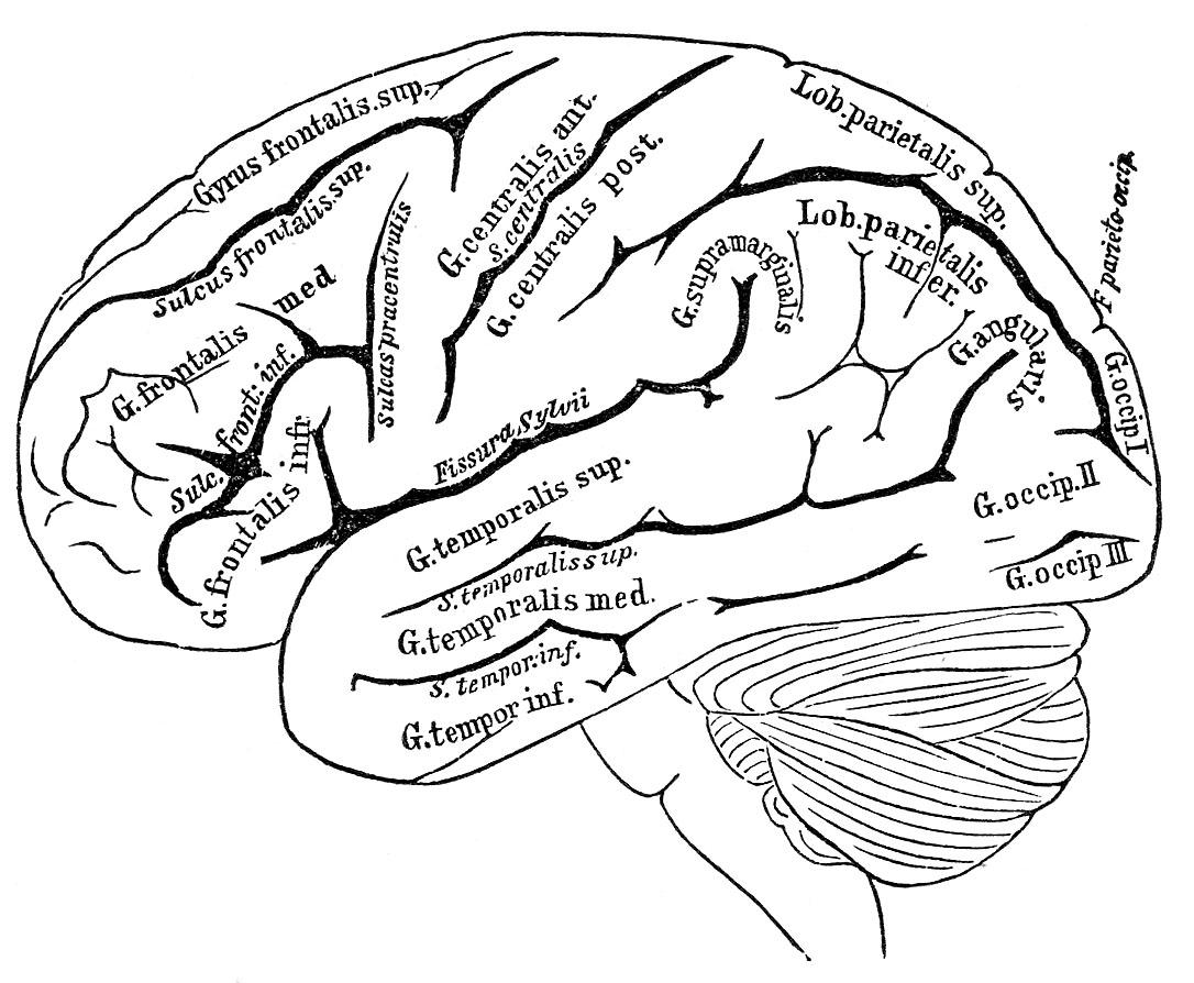 vintage anatomy images - human brain