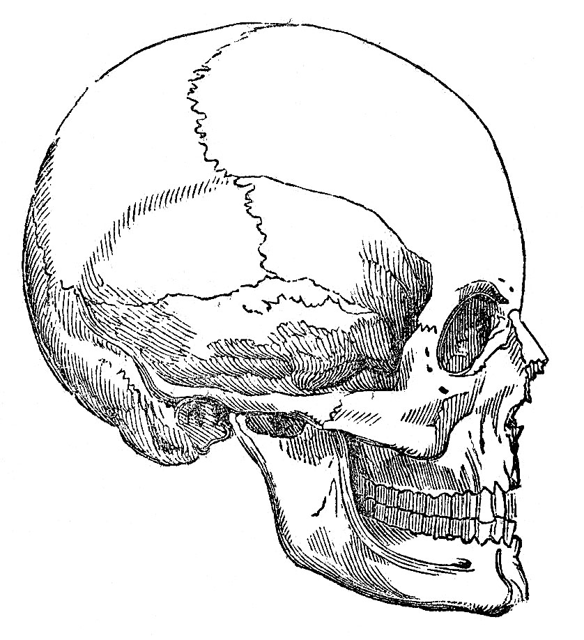 Skeleton Face Line Drawing : Vintage graphic image skull halloween the graphics fairy