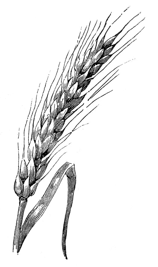 wheat so far all i found was a sprig of wheat hmm does wheat come inWheat Drawing