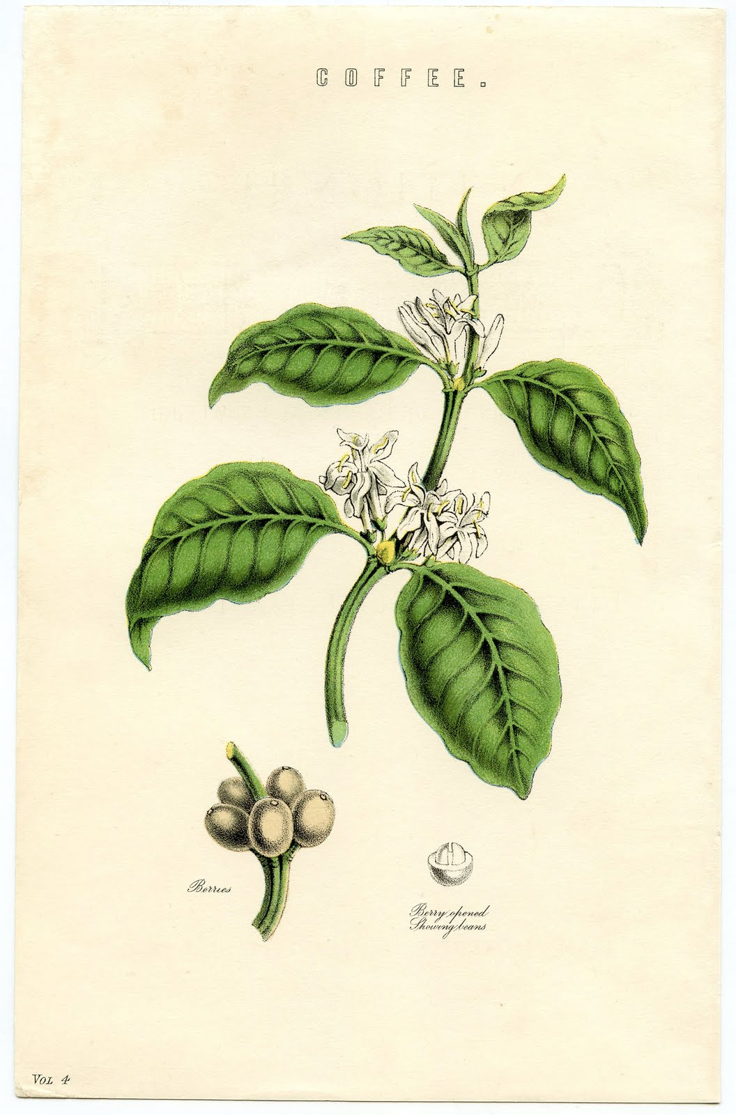 Coffee Bean Plant Drawing Coffee Plant – Instant Art
