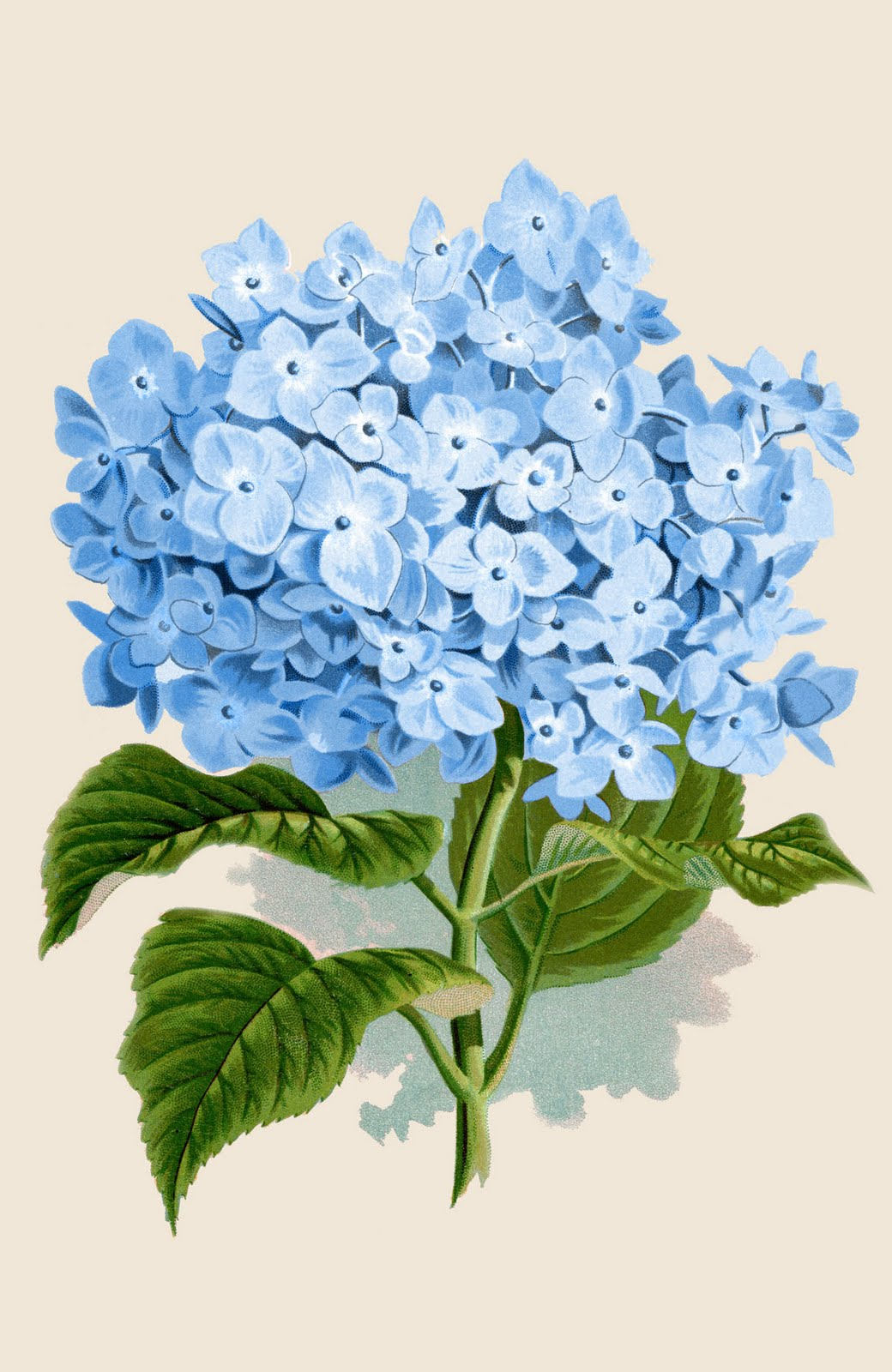 Instant Art Printable Blue Hydrangea Botanical The Graphics Fairy
