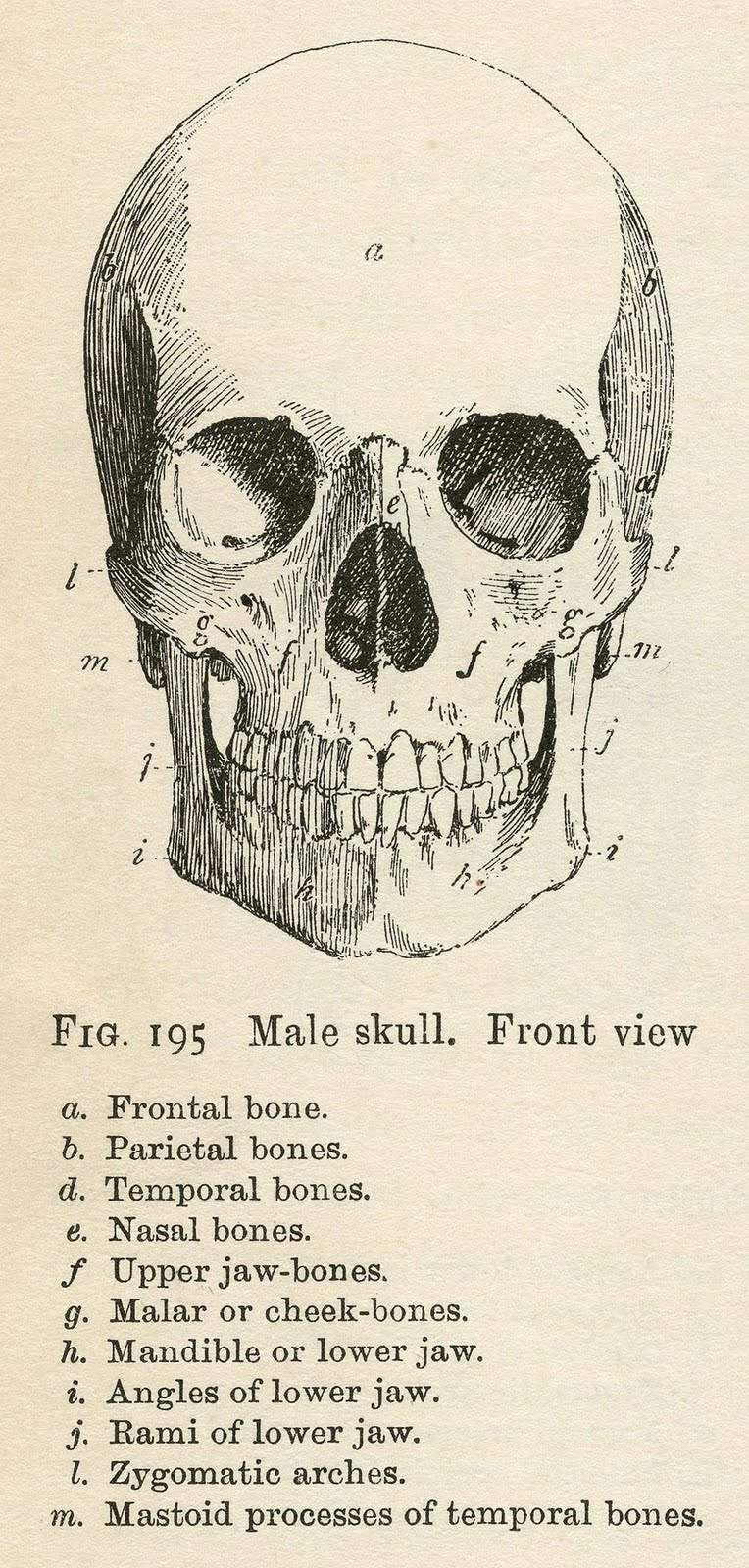 Vintage Anatomy Clip Art - Bones & Skull - Halloween - The Graphics ...
