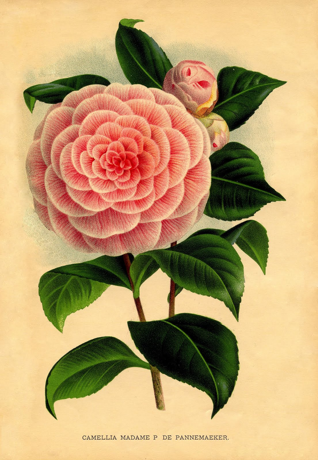 Instant Art Printable Download Pink Camellia Botanical