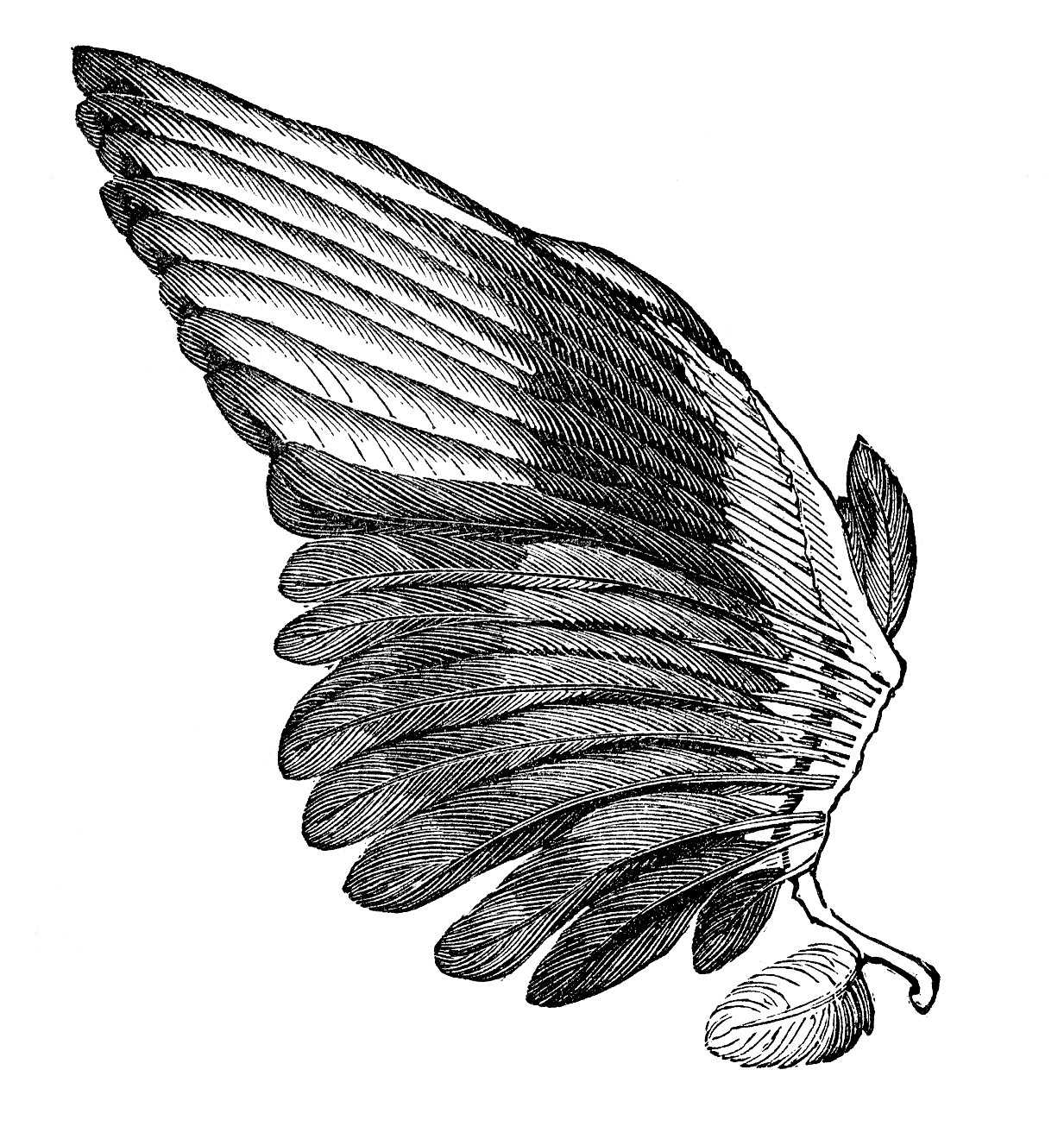 Vintage Clip Art Image Feather Wings