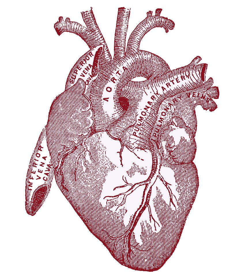vintage graphic image anatomy heart the graphics fairy