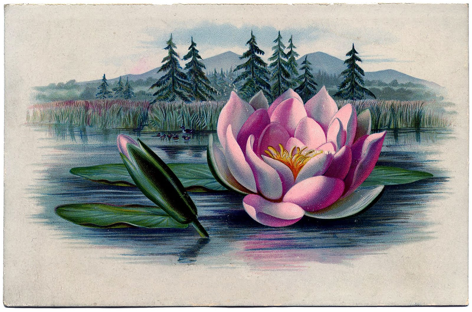 Vintage graphic amazingly beautiful pink water lily lotus the vintage graphic amazingly beautiful pink water lily lotus izmirmasajfo Gallery