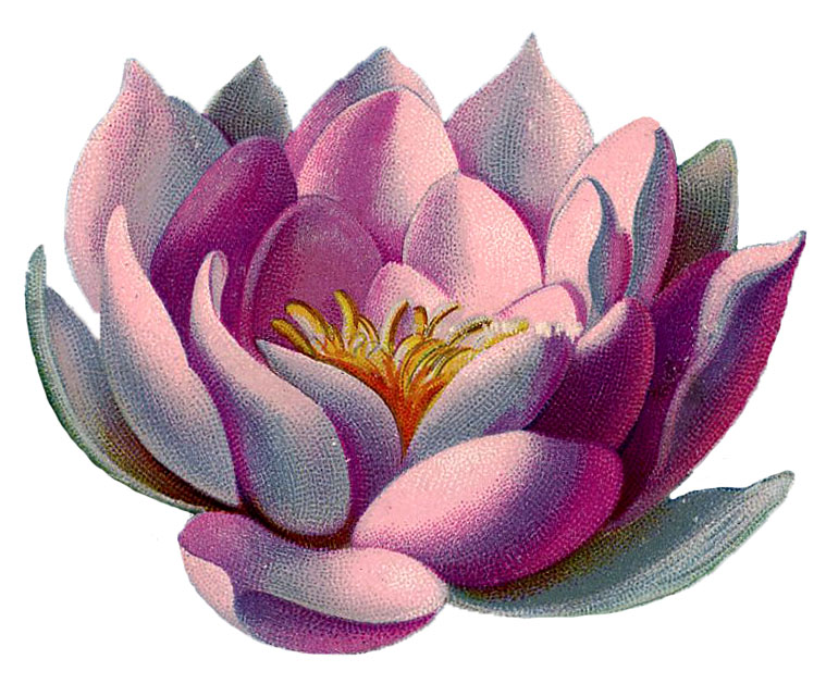 Vintage Graphic Amazingly Beautiful Pink Water Lily